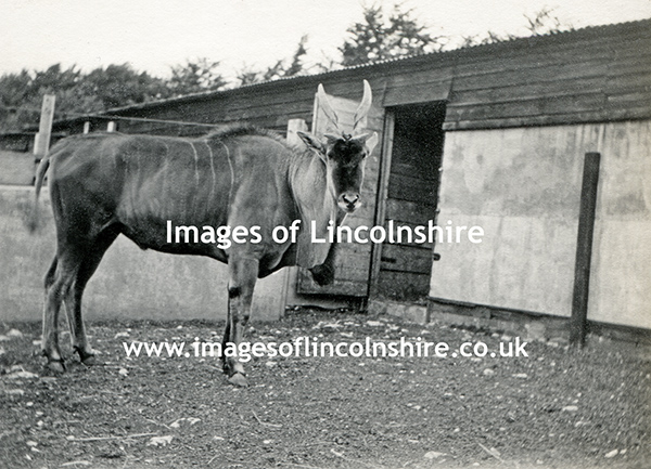 Gnu_at_Beechfield_Zoo_Grimsby_c1930s