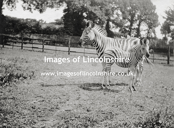 Zebra_and_Foal_at_Beechfield_Zoo_Grimsby_c1930s