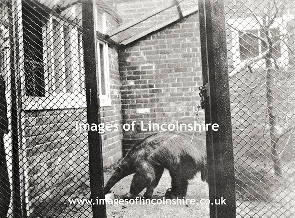 Anteater_at_Beechfield_Zoo_Grimsby_c1930s