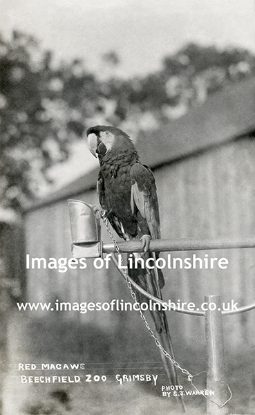 Red_Macaw_at_Beechfield_Zoo_Grimsby_c1930s